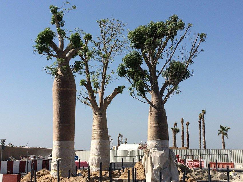 Jumeirah Bay Island - Dubai tree secured with Platipus Deadman 4LEG Fixing Systems